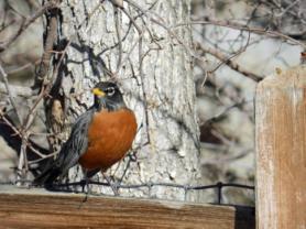 Sitting Robin